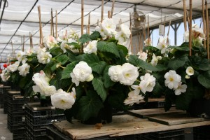 White double begonias in the grower's greenhouse.