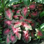 The 'Postman Joyner' Caladium has striking red centers to its leaves.