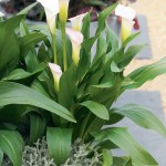 Calla Lilies make an elegant statement in the garden!