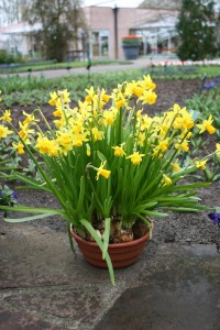 "What says ""spring"" better than miniature daffodils?"