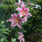 Lilies are one of the only winter hardy spring planted bulbs and are also extremely gorgeous!