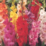 Gladiolus are commonly used in cut flower arrangements for their great color and form.