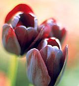 These 'Queen of Night' Tulips need to be chilled in order to grow and bloom correctly.
