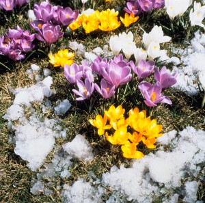 Crocus are a very early spring blooming bulb and often come up while the snow is still on the ground!
