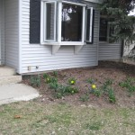The beginning of spring in the front of our house!