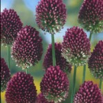 The blooms of the 'Drumstick' Allium.