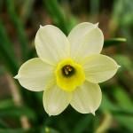 A single bloom of the 'Minnow' Daffodil.