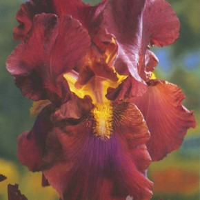 Bearded Iris and Dutch Iris