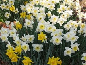 The pure yellow daffodils intermixed with the others helps to bring out the yellow centers of the white blooms.