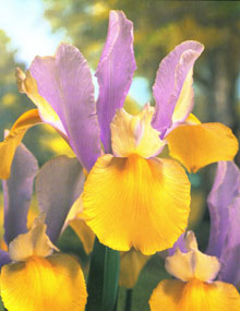 This Orental Beauty Dutch Iris boast of bi-colored blooms of yellow and lavendar.