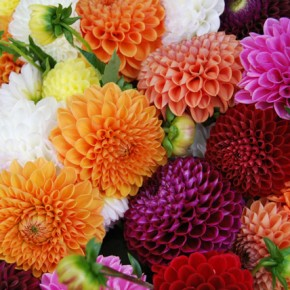 Caught in a Dahlia Daydream - Planting Dahlias