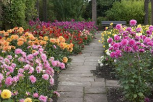 Planting Dahlias Garden Bulb Blog Flower Bulbs Gardening Tips