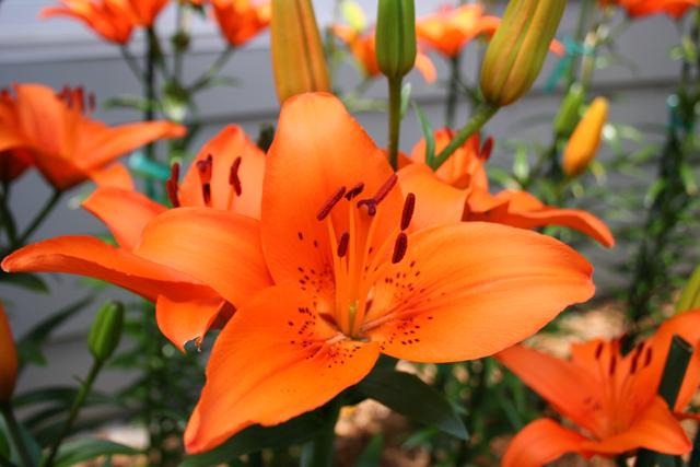 Asiatic-Lily,-Tresor005