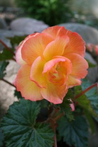 This beauty if the Sunrise Scentiment Begonia. Not only is it easy on the eyes, but also smells wonderful!