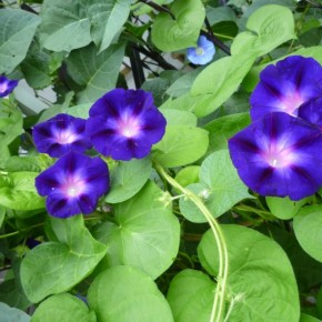 The Glory of Morning Glories