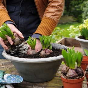 Forcing Flower Bulbs - Part Two