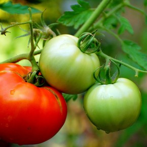 Tomato: Fruit or Vegetable???