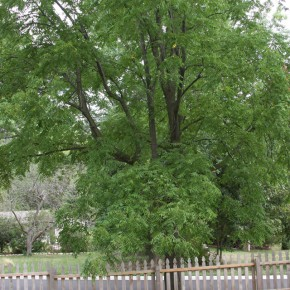 The Black Walnut: A Toxic Beauty