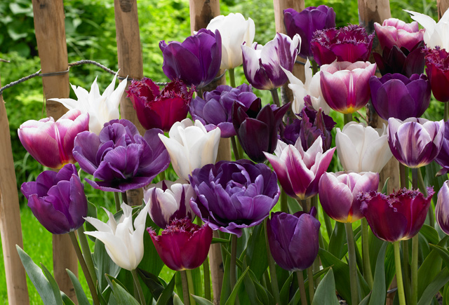 mixed purple tulps