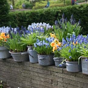 daffodils Garden Bulb Blog Flower Bulbs Gardening Tips