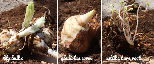 bulbs-with-growth