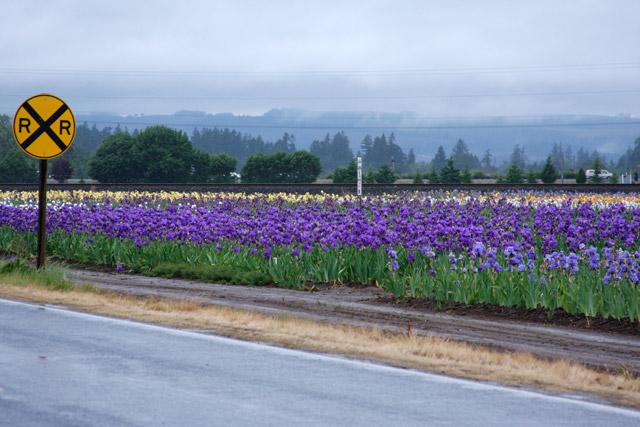 Bearded Iris by Road