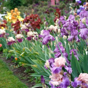 A Rainbow of Iris | Guest Blog