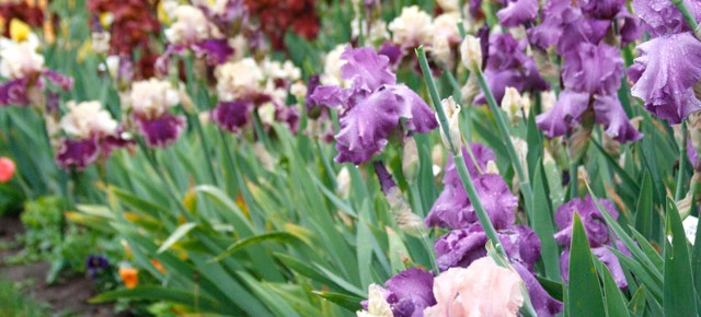 A Rainbow of Iris | Guest Blog