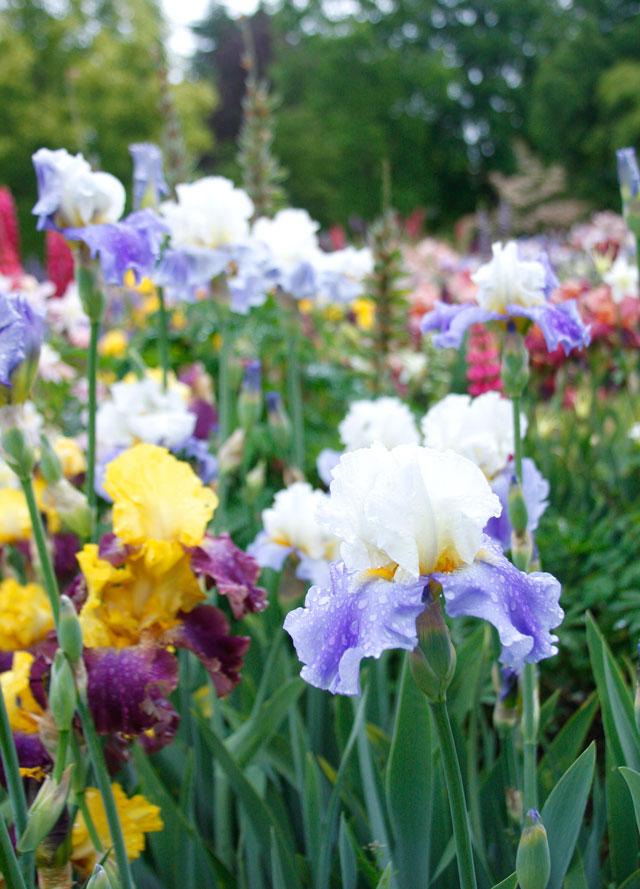 Mixed Bearded Iris