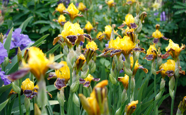 Multi Colored Bearded Iris
