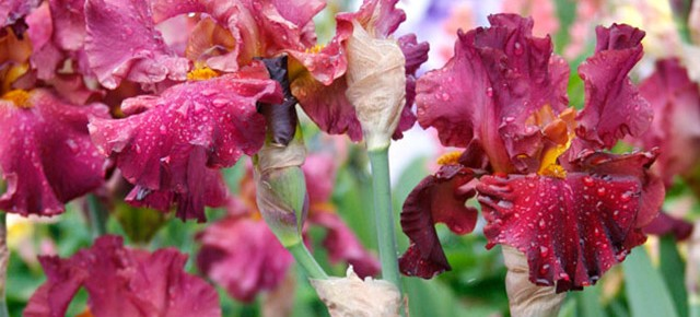 Bearded Iris: A Timeless Jewel