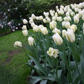 Bulb Bargain: Spring Green Tulips
