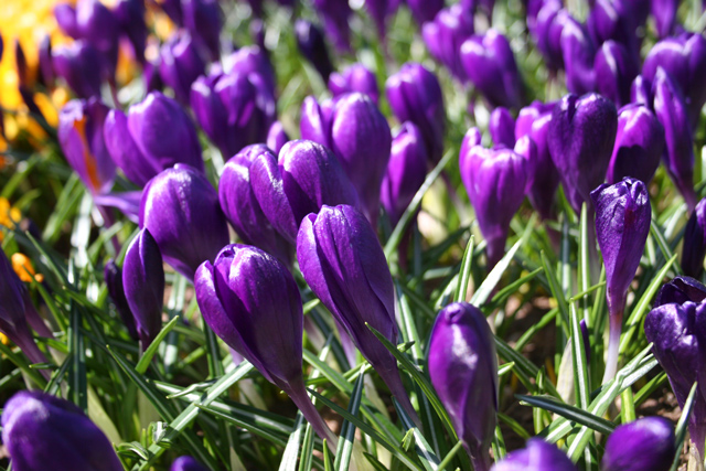 Crocus,-Purple-(3)