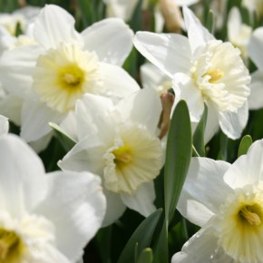 Bulb Bargain: Ice Follies Daffodils
