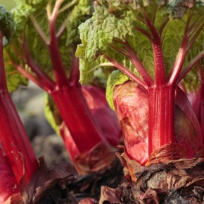 Bulb Bargain: Crimson Red Rhubarb