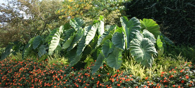 Bulb Bargain: Elephant Ears