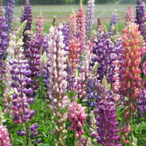 Bulb Bargain: Russell Hybrid Lupine Mix