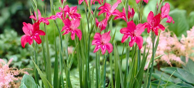 Bulb Bargain: Charming Beauty Miniature HARDY Gladiolus