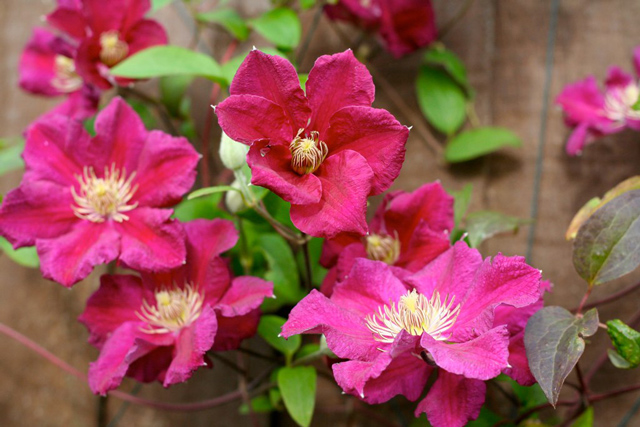 tips on growing clematis garden bulb blog flower bulbs gardening tips. Black Bedroom Furniture Sets. Home Design Ideas