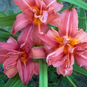 Bulb Bargain: Double Passion Daylily