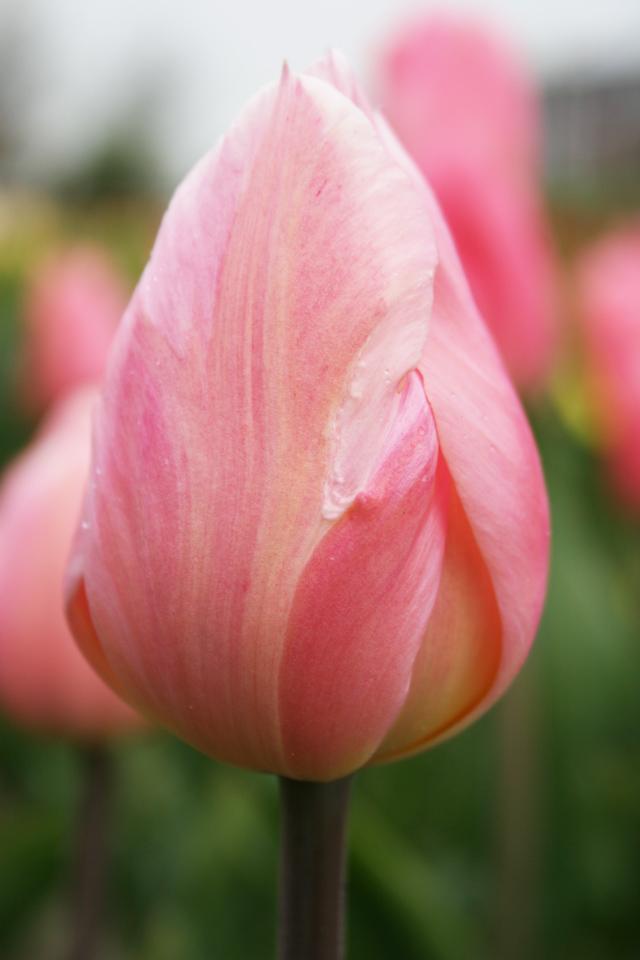 Apricot-beauty-(3)