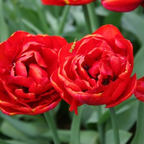 Tulip Series: Double Early Tulips