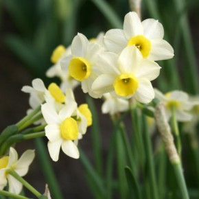 Bulb Bargain: Minnow Daffodils