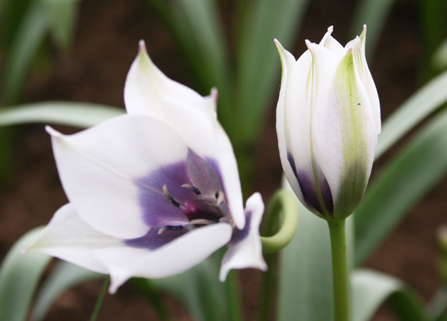 Tulipa,-Alba-Coerulea-(3)