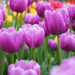 Tulip Series: Triumph Tulips