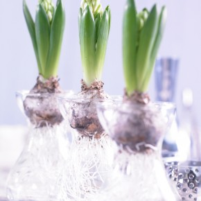 Forcing Hyacinths For Indoor Blooms in 8 Simple Steps