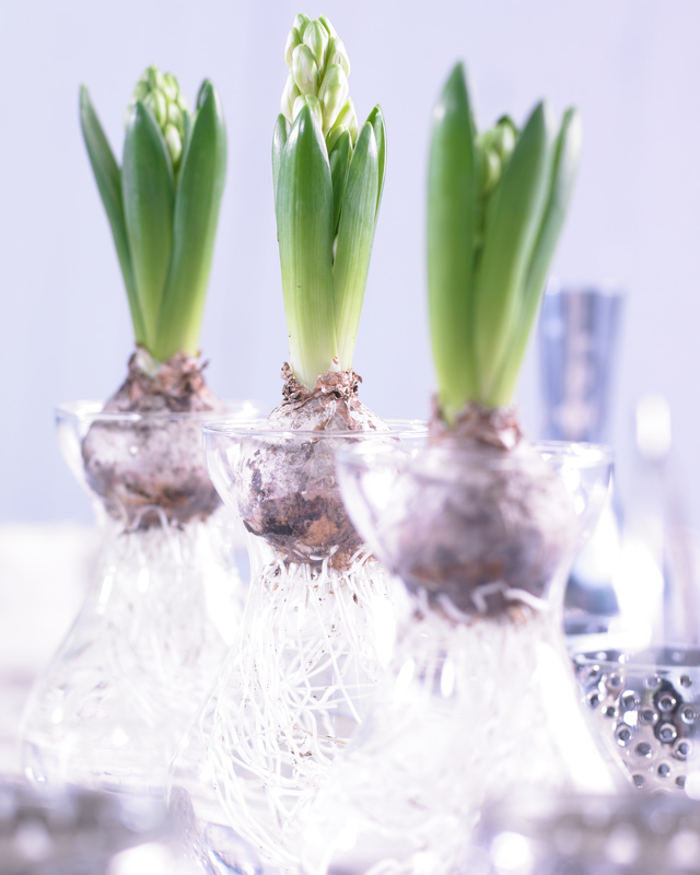 Forcing Hyacinths In Vases Garden Bulb Blog Flower Bulbs Garden