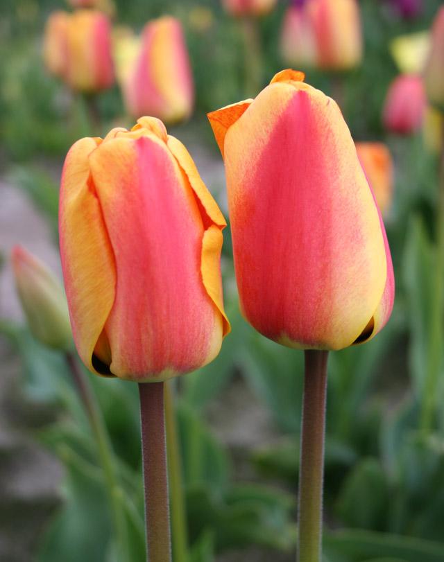 Apeldoorn's-Delight-(1)