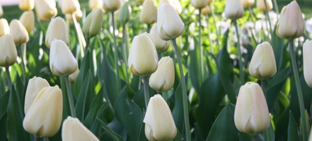 Tulip Series: Darwin Hybrid Tulips