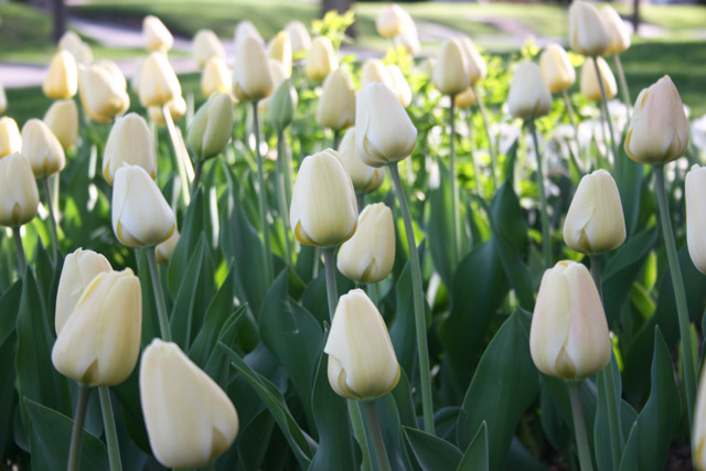 White Darwin Hybrid Tulips